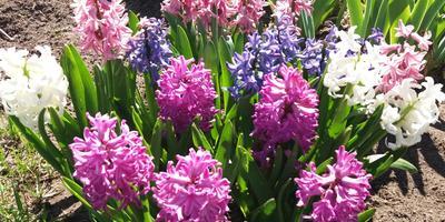 "Гиацинт или ""цветок дождя"" - мой любимый весенний цветок"