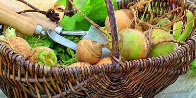 Сокровища из подземелья: корнеплоды и клубни