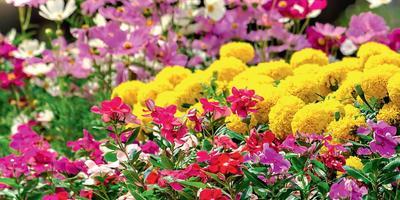 В режиме нон-стоп: однолетние цветы на весь сезон