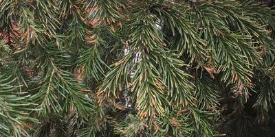 Почему на некоторых ветках ели стали закручиваться иголки, а к концу лета часть иголочек коричневеет?