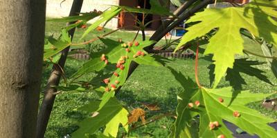 На листьях клёна в июне появились странные образования. Что бы это могло быть и как бороться?