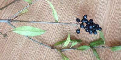Подскажите название растения. Это разновидность бузины?