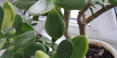 Желтеют верхние листья толстянки. Что делать?