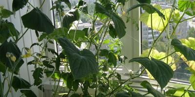 Комнатный огород. Огурцы и томаты