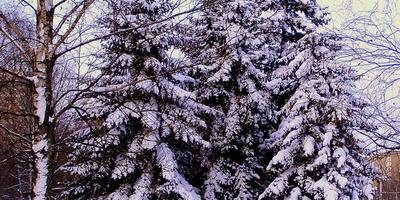 Заснеженные елки