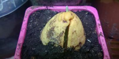 История одного авокадо
