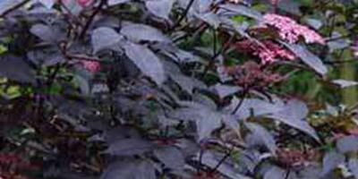 Хочу посадить черную бузину. Будут ли оставаться краснолиственные сорта бузины съедобными и душистыми?