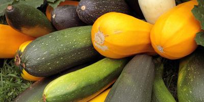 Выращиваем кабачок – ценнейший диетический продукт