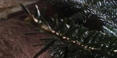 У пихты кавказской птицы объели кончики нижних веток. Что делать?