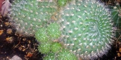 Помогите определить названия кактусов
