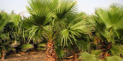 Моя теория зимовки пальм в открытом грунте