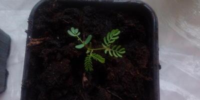 Сажала семена спатифиллума, а проросло непонятно что. Помогите определить, что за растение?