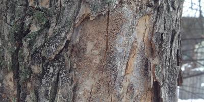 Помогите определить, что с деревом?