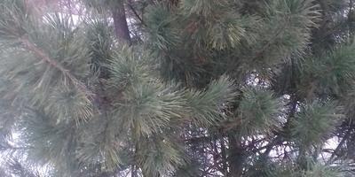 На участке растут 2 кедра, один - с раздвоенным стволом. Они не помешают друг другу?