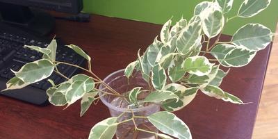 Как укоренить растение?