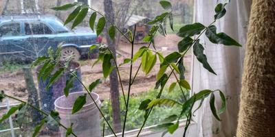 Сохнут листья у глицинии и сакуры. Что предпринять?