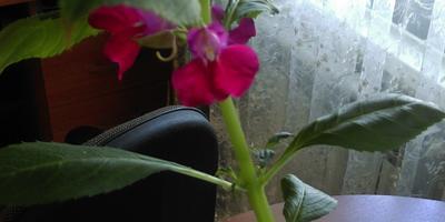 Как выращивать это растение в открытом грунте?