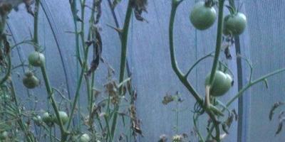 Можно ли заменить хлористый калий 10% из аптеки на хлористый калий из магазина Сад и огород для лечения помидоров?