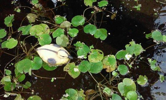 """Основные зеленые """"жители"""" на поверхности воды в водоеме."""
