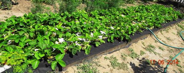 Грядка клубники под агроспаном