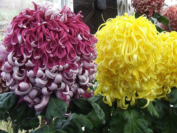 хотелось бы узнать сорт хризантемы