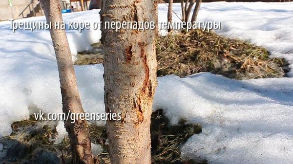 трещина на коре от перепадов температуры
