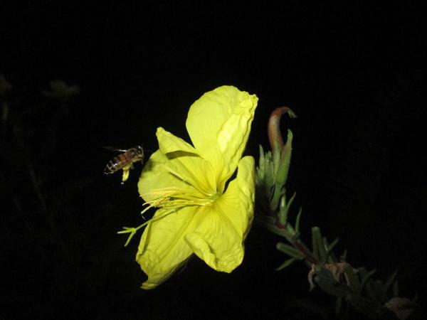 ночью пчелы собирают пыльцу с энотеры. Сам цветок фантастически красиво распускается. А все действие неповторимо