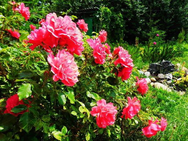 Розы в моём саду