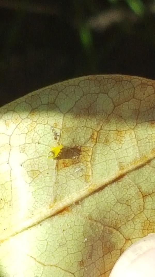 Рододендрон стал чем-то болеть: листья, а затем и ветки сохнут. Нашла на нижней стороне листа вот такого паразита .  Кто это и как его извести? Подскажите, пожалуйста!