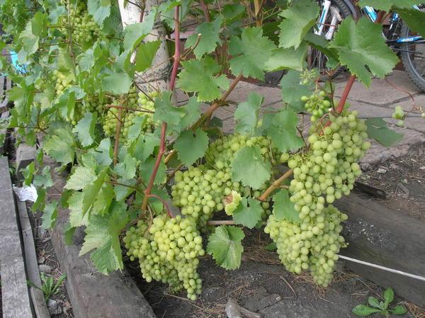 Созревают ягоды винограда Алешенькин (11. 08. 2015 г)