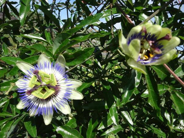Цветы пассифлоры