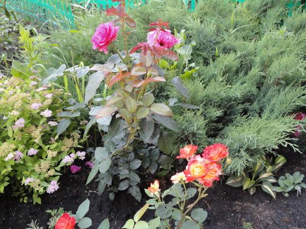 соседство цветов с можжевельником