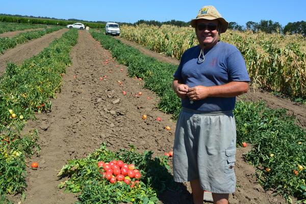 моё поле  последние сбор помидор