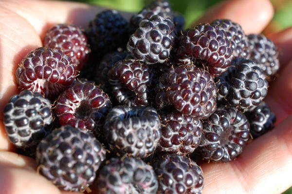 ягоды кумберленд