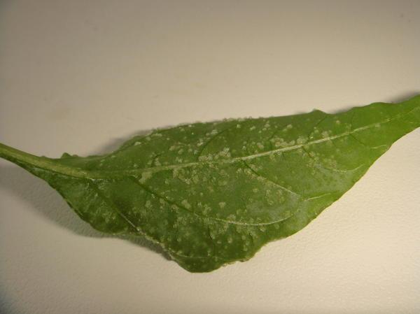 Тыльная сторона листа перца