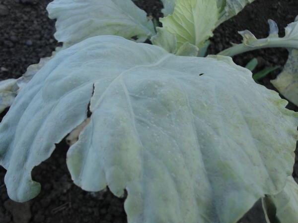 лист больного растения