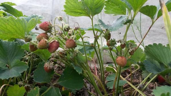 В таком состоянии ягоды и усохли.