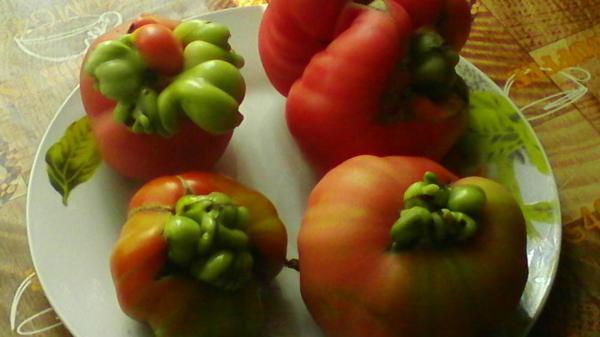 Что с томатами? Почему такие кормовые уродились? В чем причина?
