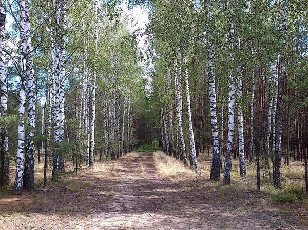 А эту берёзовую аллею увидела сегодня в лесу...