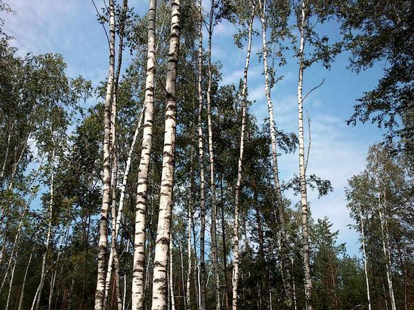 Рядышком смешанный участок леса - мои любимые берёзы