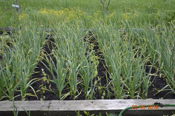 Чеснок сажаю в три ряда,расстояние между рядами 15 см. итого получается 45 см,затем отступаю 45 см.пустая грядка.А в пустую грядку весной сажаю рассаду помидор и болгарского перца.