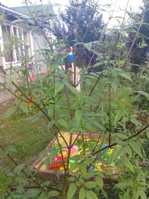 Выросло травянистое растение с толстым стеблем и раскидистыми ветвями до 2 метров в высоту