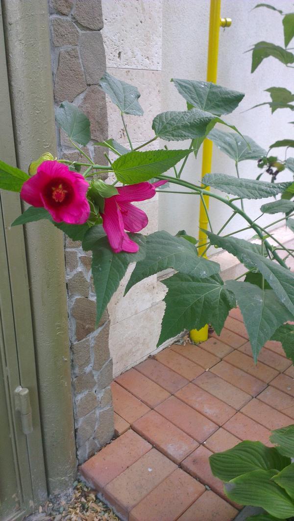 Уважаемые эксперты!Помогите идентифицировать этот цветок,очень похож на мальву,но крупнее,растет кустом,форма листа отличается,цветок крупный,величиной с десертную тарелочку,ярко-красного цвета.Заранее очень благодарен за помощь!!!