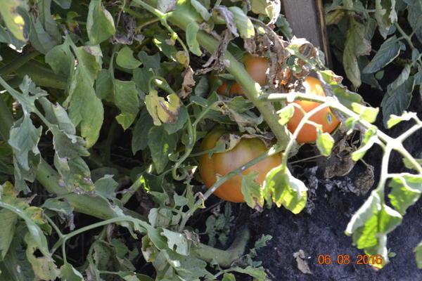 И созревать начали,но у вы после частных дождей,помидоры начали портится и гнить. 15-ведер выбросил в компостерную яму.