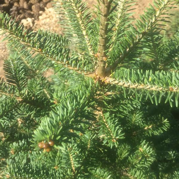 Вот эта елочка отличается своей хвоей от других соседей. Она тоже может вырасти большой?