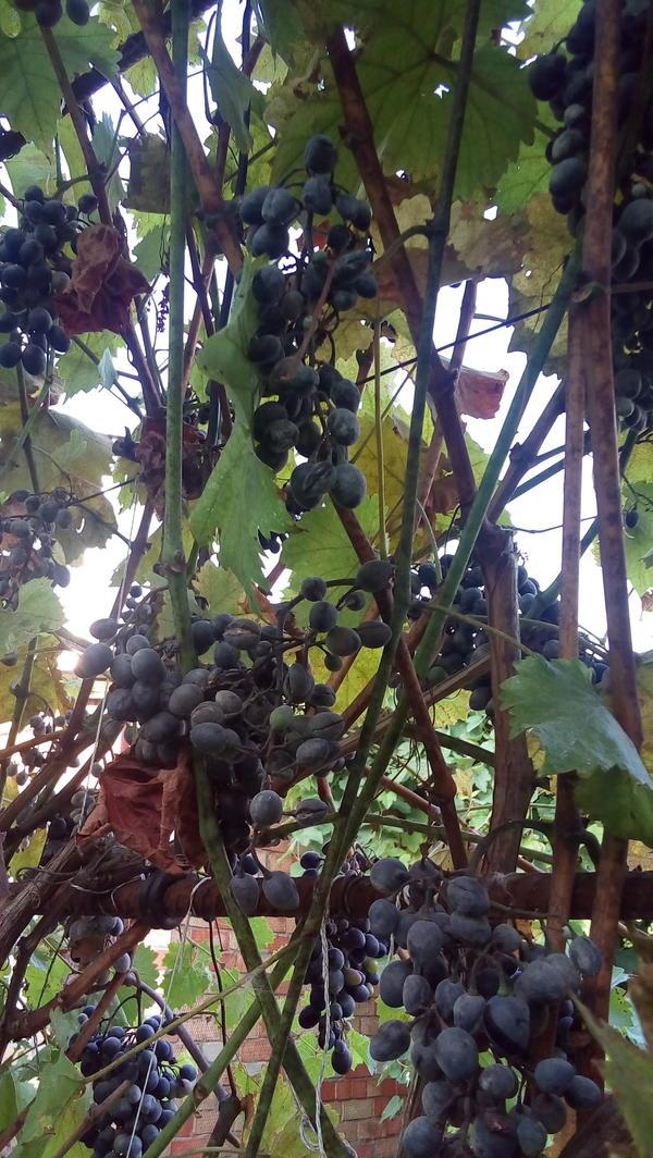 На гронках винограда какой-то налет