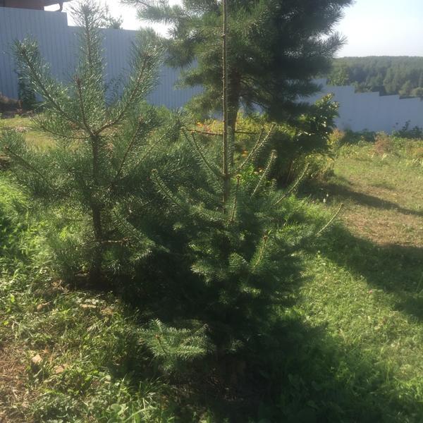 Вот рядом получилась елочка и сосенка. Сосна похоже разрастется ещё.