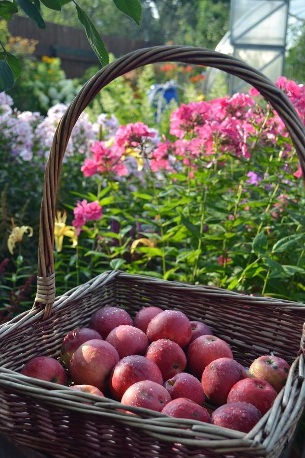 Яблоки Лето Красное