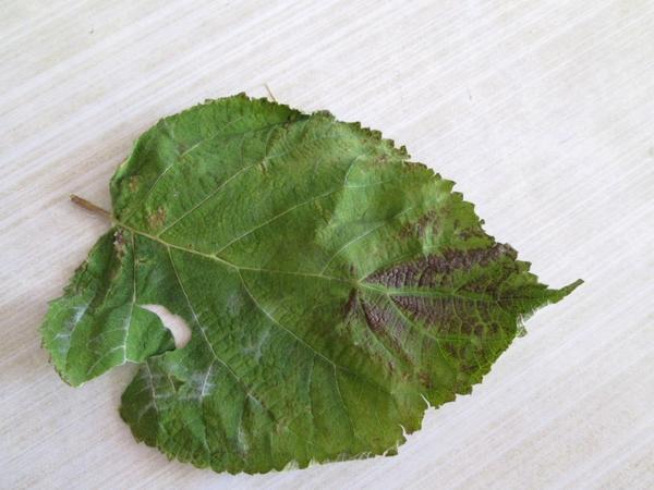 Больной лист гортензии