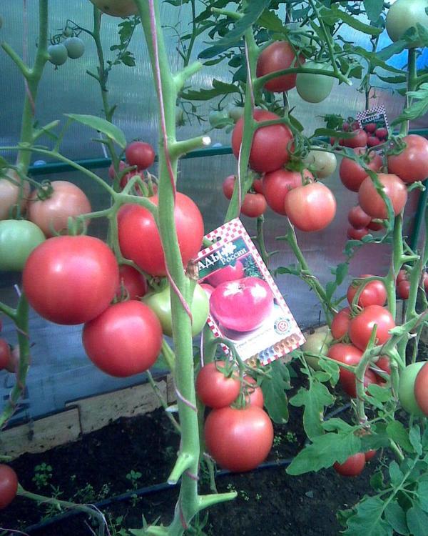 куст томат